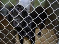 Labrador Retriever - Emma - Large - Adult - Female -
