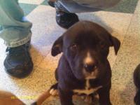 Labrador Retriever - Ethel - Large - Baby - Female -
