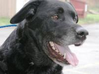 Labrador Retriever - Faith - Large - Adult - Female -