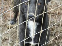 Labrador Retriever - Faith - Medium - Young - Female -