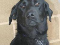 Labrador Retriever - Fargo - Large - Young - Male -