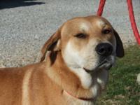 Labrador Retriever - Fatty - Large - Adult - Male -