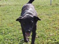 Labrador Retriever - Fibby Faye - Medium - Adult -