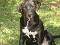 Labrador Retriever - Fibby - Medium - Young - Female -