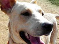 Labrador Retriever - Fidel - Large - Young - Male -