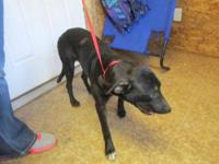Labrador Retriever - Fiona - Medium - Young - Female -