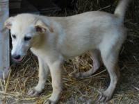 Labrador Retriever - Flo - Large - Baby - Female - Dog
