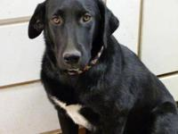 Labrador Retriever - Ford - Large - Young - Male - Dog