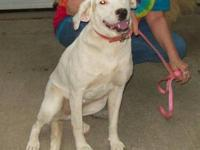 Labrador Retriever - Freckles-adopted! - Large - Adult