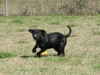 Labrador Retriever - Frisbe - Large - Young - Female -