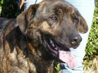 Labrador Retriever - Ginger - Large - Young - Female -
