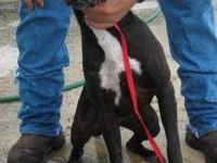Labrador Retriever - Ginny (urgent) - Large - Young -