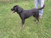 Labrador Retriever - Grace - Large - Adult - Female -