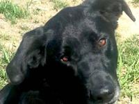 Labrador Retriever - Grace - Large - Adult - Female -