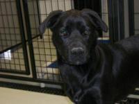 Labrador Retriever - Gunner - Large - Adult - Male -