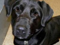 Labrador Retriever - Gunner - Large - Young - Male -