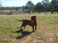 Labrador Retriever - Gunshot - Medium - Young - Male -