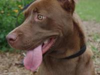 Labrador Retriever - Hadden - Medium - Young - Male -