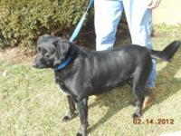 Labrador Retriever - Hahns - Large - Adult - Male -