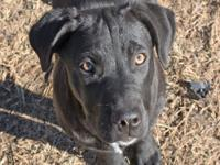Labrador Retriever - Hannah - Large - Young - Female -