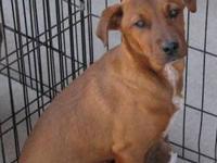 Labrador Retriever - Hannah - Medium - Adult - Female -