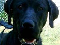 Labrador Retriever - Harley - Large - Young - Female -