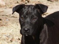Labrador Retriever - Heidi - Large - Young - Female -
