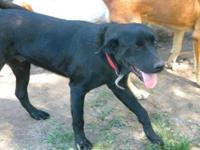 Labrador Retriever - Hemi - Extra Large - Young - Male