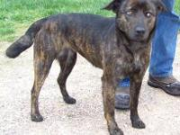 Labrador Retriever - Hershey 75841 - Medium - Adult -