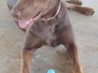 Labrador Retriever - Hershey - Medium - Adult - Female