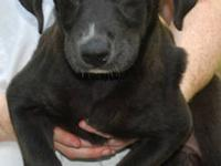Labrador Retriever - Holly Shiftwell - Large - Baby -