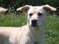 Labrador Retriever - Holmes - Medium - Adult - Male -