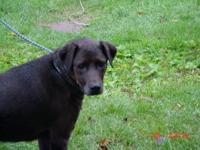 Labrador Retriever - Hope - Medium - Adult - Female -