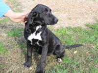 Labrador Retriever - Hope - Medium - Baby - Female -