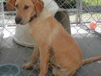 Labrador Retriever - Hunter - Medium - Young - Male -