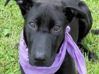 Labrador Retriever - Isabella - Large - Young - Female