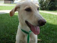Labrador Retriever - Ivy - Large - Adult - Female -