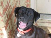 Labrador Retriever - Jack - Large - Young - Male - Dog