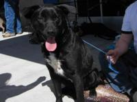 Labrador Retriever - Jack - Medium - Young - Male -