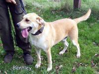 Labrador Retriever - Jackson - Medium - Young - Male -