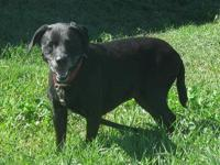 Labrador Retriever - Jade - Medium - Adult - Female -