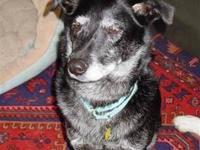 Labrador Retriever - Jessie - Medium - Adult - Female -