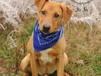 Labrador Retriever - Jo Jo 6946 - Large - Young - Male