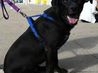 Labrador Retriever - Joe - Large - Young - Male - Dog