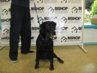 Labrador Retriever - Jules - Large - Senior - Female -