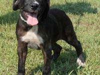 Labrador Retriever - Julia - Medium - Baby - Female -