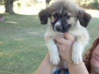 Labrador Retriever - Kacie - Medium - Young - Male -