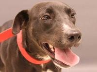Labrador Retriever - Kaelyn - Large - Young - Female -