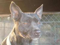Labrador Retriever - Kate - Medium - Adult - Female -