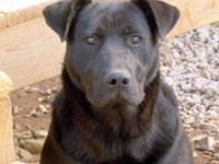 Labrador Retriever - Keeley - Large - Young - Female -